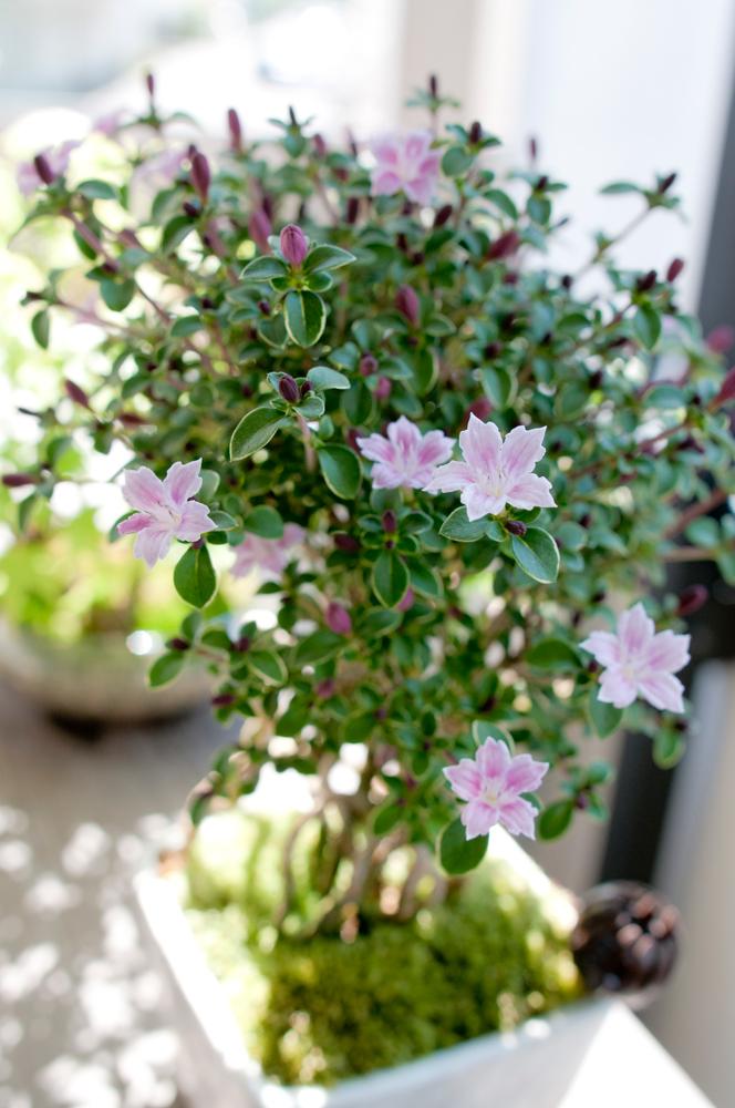 香丁木の花